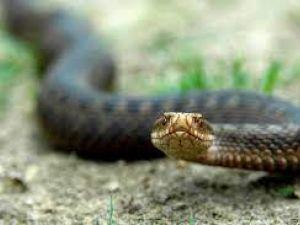 Міфи та правда про укуси змій