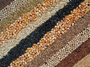 Скільки намолотили зерна хлібороби Кіровоградщини?
