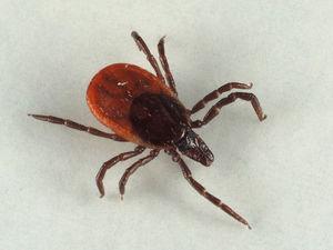 У Кропивницькому знайшли кліщі, інфіковані збудниками хвороби Лайма