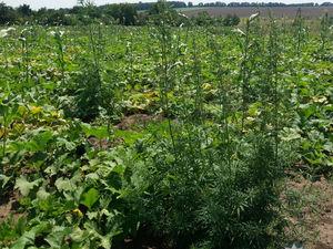Жителька Кіровоградщини вирощувала коноплю на своєму городі