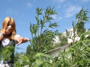Як допомогти людям, які страждають від цвітіння амброзії? (ВІДЕО)