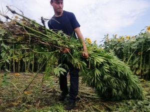 На Новомиргородщині поліція знищила коноплі вартістю 10 мільйонів