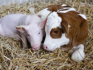 Як розвивається тваринництво на Кіровоградщині?