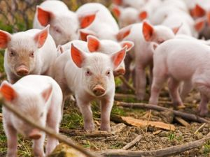Через туристів, птахів і гризунів поголів'я свиней у Кіровоградській області скоротилося майже на 17%