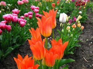 Скільки квітів висадили у Кропивницькому?