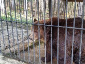 За що Держекоінспекція відібрала ведмедя Юру у власників пансіонату «Байка»?