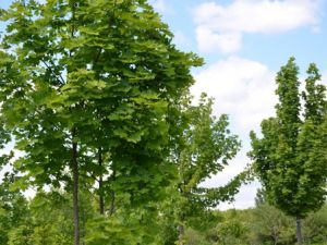 Скільки дерев висадили у Кропивницькому?