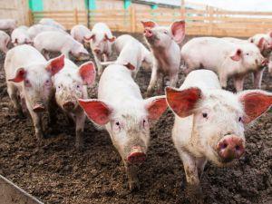 На Кіровоградщині зареєстрували випадок африканської чуми свиней