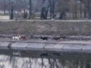 Кропивницький: На проспекті Винниченка зграя собак напала на чоловіка (ФОТО)