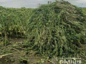 Кіровоградщина: Поліція продовжує боротьбу з вирощуванням коноплі