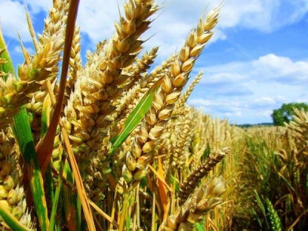 Кіровоградські фермери можуть збирати на 35-50% більші врожаї