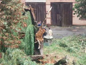 Кропивницький: Стара верба постраждала від шквального вітру