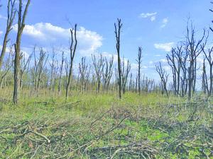 Дерева-каліки або Омолоджувальна обрізка у Кропивницькому