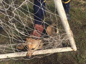 На Кіровоградщині собака застряг у футбольній сітці (ФОТО)
