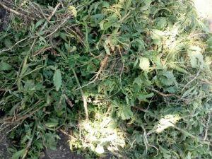 На Новомирогородщині знайшли майже чотири тисячі нарковмісних рослин