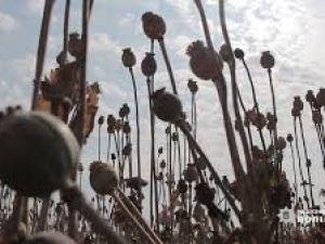 """Кіровоградщина: Скількох вирощувачів маку та коноплі """"накрила"""" поліція?"""