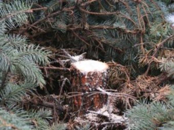 У новоріччя на Кіровоградщині знайшлося чимало охочих заробити на незаконному продажу ялинок