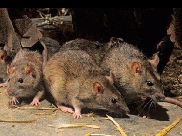 У Кропивницькому на Героїв України трохи поганяли щурів