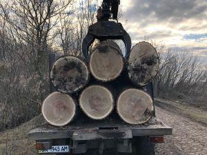 Кіровоградщина: Працівники лісового господарства незаконно вирубали дуби (ФОТО)