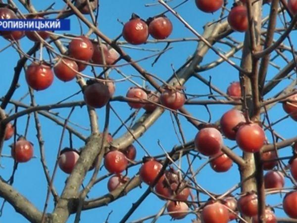 Кропивничанин вирощує американську хурму (ВІДЕО)