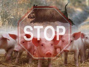 Держпродспоживслужба закликає власників тварин об'єднати зусилля щодо подолання чуми свиней