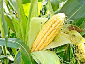 Посівна-2019: В Україні посіяно 3,6 мільйонів га кукурудзи