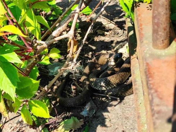 Кропивницький: На Ковалівці перехожі помітили великого плазуна (ФОТО)