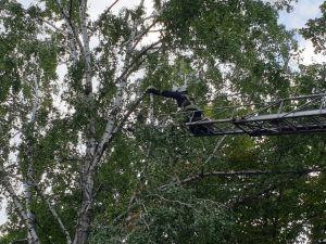 На Бєляєва розчахнулася аварійна береза