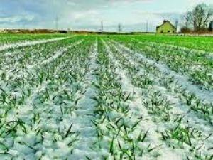 80% озимих зернових на Кіровоградщині в задовільному стані
