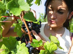 Безробітним Кіровоградщини пропонують здобути цікаву професію – «виноградар»