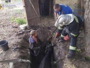 Кіровоградщина: На приватному подвір'ї корова потрапила до ями