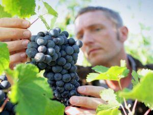 Безробітні Кіровоградщини можуть отримати рідкісну професію виноградаря
