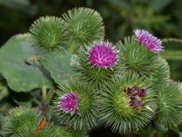 Целебные травы Татьяны Тимофеевой: лопух обыкновенный