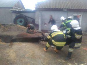 Кіровоградська область: Корова потрапила до ями