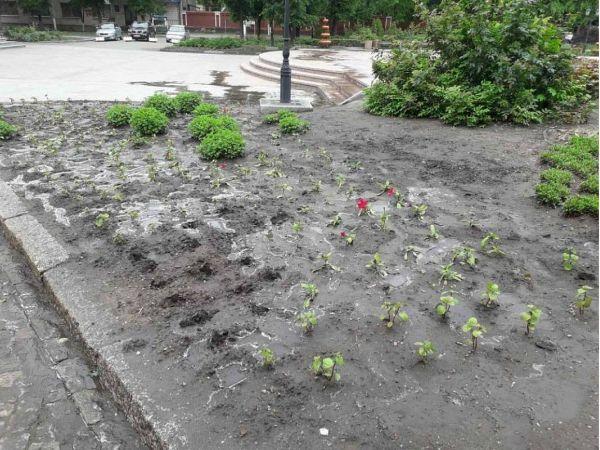У Кропивницькому любителі квітів розорюють міські клумби